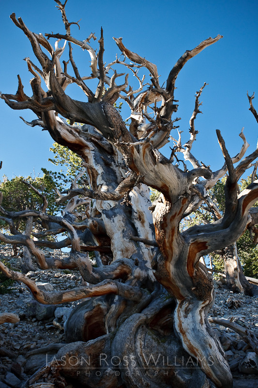Bristlecone Pines, pine, trees, forest, old, twisted, gnarled, Great Basin, National Park, nature, Nevada