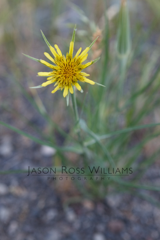 flower, plant, macro, yellow, daisy, dandelion, shallow depth of field, bokeh