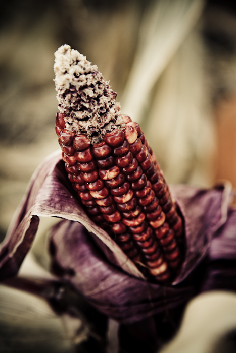 corn, indian, red, purple, fall, harvest, maize, maiz