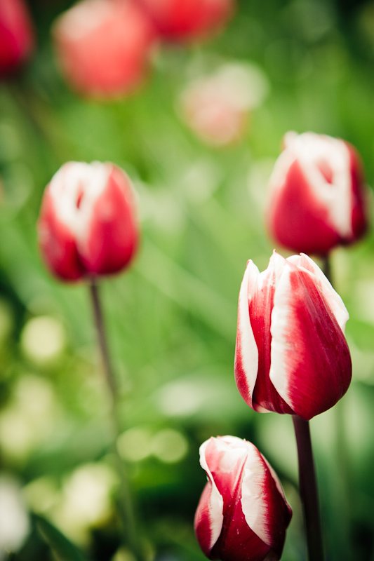 flower, flowers, garden, Nature, red, Thanksgiving Point, tulips, white