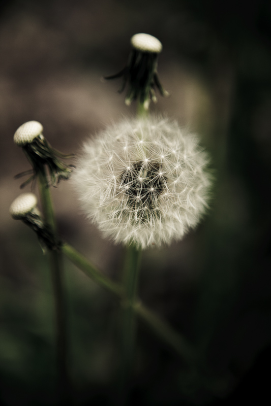dandelion, flower, grass, Nature, Provo River Parkway, puff, seeds