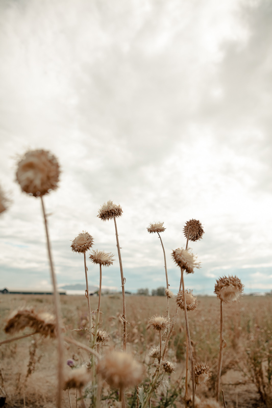 Field of thistle and weeds along Geneva Road in Provo, Utah